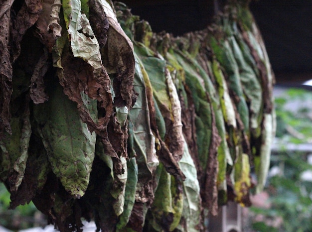 Tobaco leaf on drying proccess