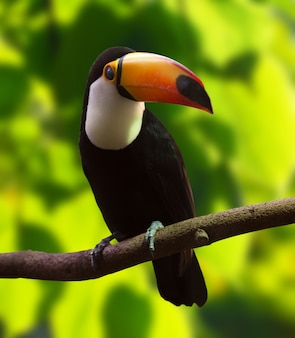 Toco toucan(ラムパストス・トコ)