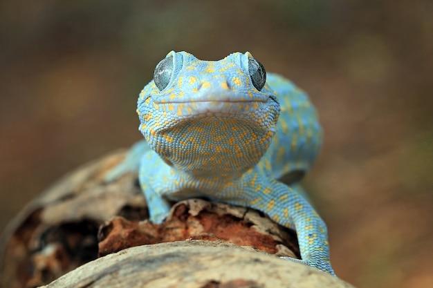 Tokay gecko 흰둥이 얼굴 동물