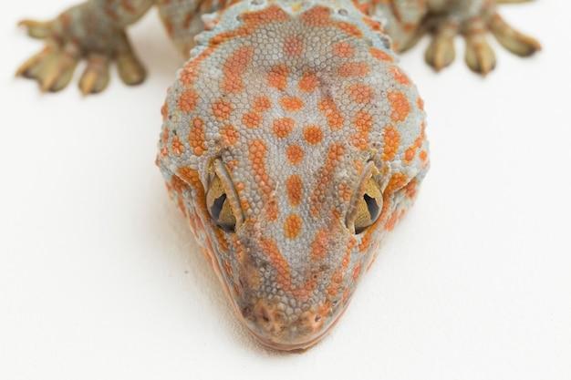 Токайский геккон gekko gecko, изолированные на белом фоне