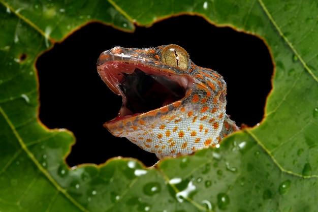 Токек крупным планом обрамление на зеленых листьях, крупным планом животных, крупным планом токекской ящерицы на зеленых листьях