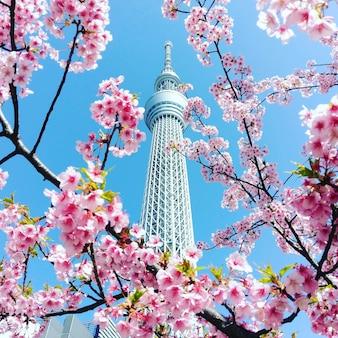 桜の背景を持つ東京スカイツリー