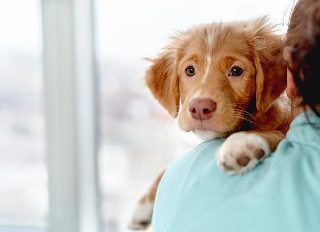 自宅で所有者の肩に座って楽しんでいるtoller子犬