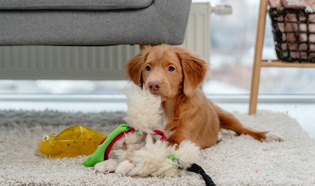 Toller puppy having fun with dog toys on carpet at home
