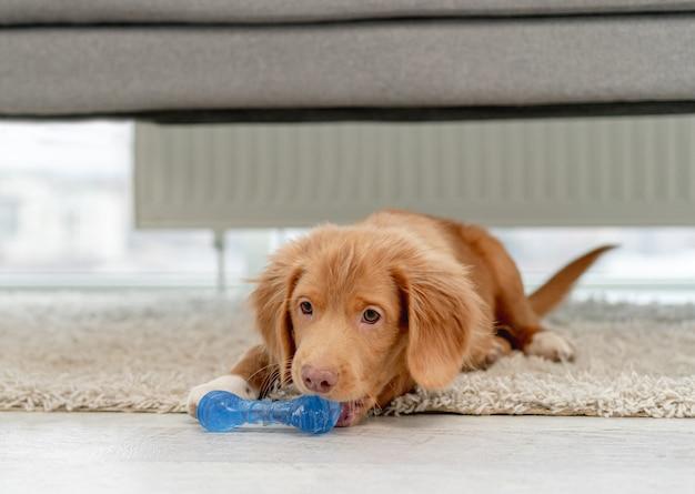 自宅の床を噛むためのおもちゃを楽しんでいるtoller子犬