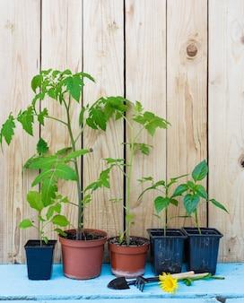 Саженцы помидоров и перца в горшках на деревянном фоне. подготовка к посадке растений в открытый грунт.