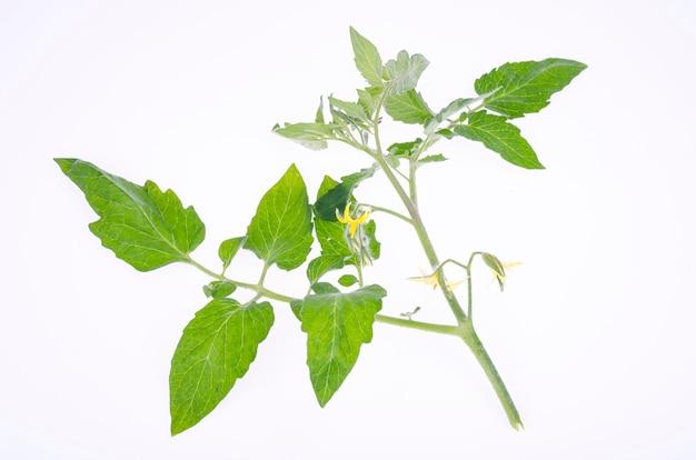녹색 잎과 노란 꽃이 있는 토마토 가지. 스튜디오 사진.
