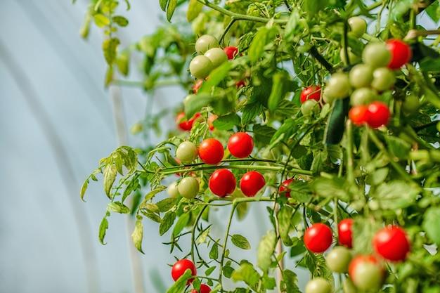Ветки томатов в саду в саду растут зрелые красные и незрелые зеленые помидоры