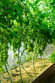 Tomato bushes with green fruits in greenhouse.