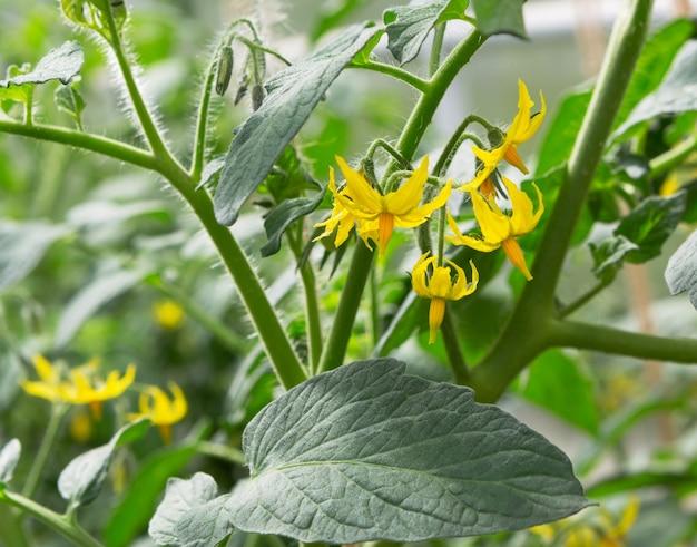 Цветок и лист растения томата. органические помидоры, растущие в теплице.