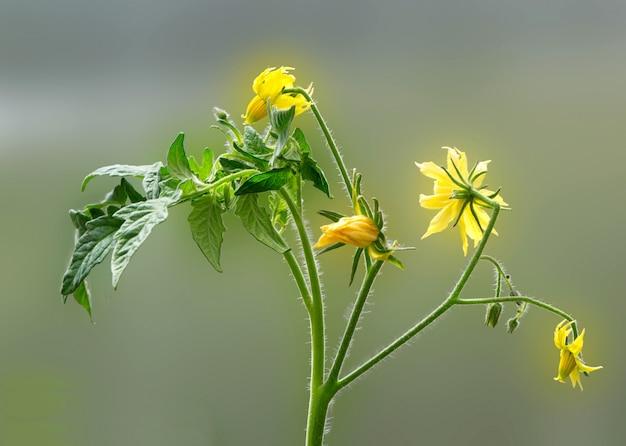 Цветок завода томата и листовая весна на зеленом фоне. концепция сельского хозяйства.