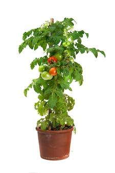 白い背景で隔離の植木鉢で育つトマト植物