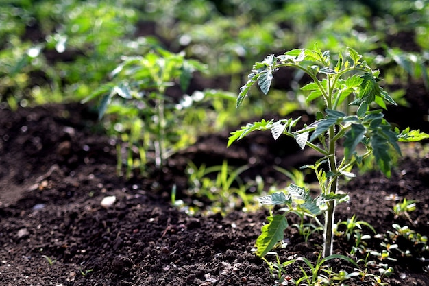 Сажать помидор в саду рано утром. посадка рассады томатов в грунт. концепция сохранения природы и сельского хозяйства.