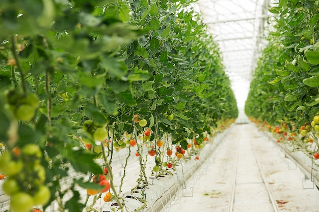 Tomato plants growing inside a greenhouse.