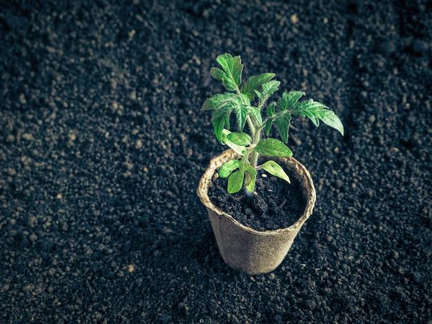 植える前のトマトの苗。調色。