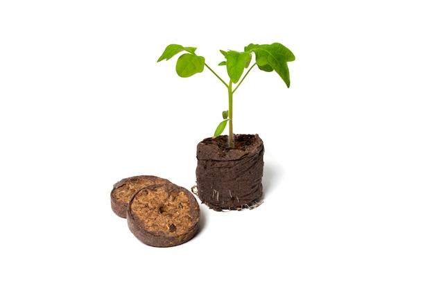 토마토 모종은 건조한 이탄 정제 근처에서 자랍니다.