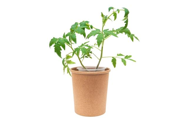 흰색 배경에 고립 된 종이 냄비에 토마토 모종
