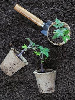 植える前のトマトの苗。植える準備ができている植物の苗。