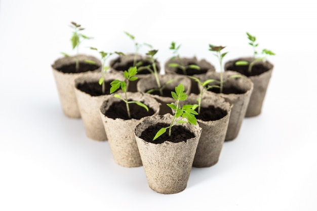 Tomato seedlings in biodegradable eco recyclable pots on white background isolated. empty space, room for text. organic farming, zero waste concept.