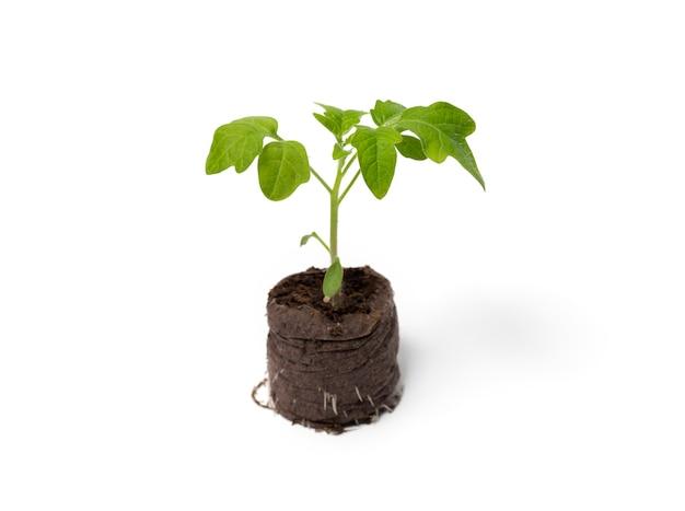 이탄 정제에서 자라는 토마토 모종