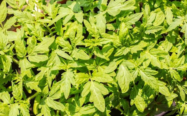 トマトの苗。農業用の植物を育てる。春の植栽。窓辺の初期の苗。背景テクスチャ