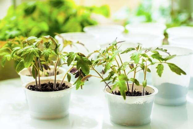 Саженцы томатов выращивают в горшках перед посадкой в сад