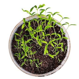 土とプラスチックのバケツにトマトの苗
