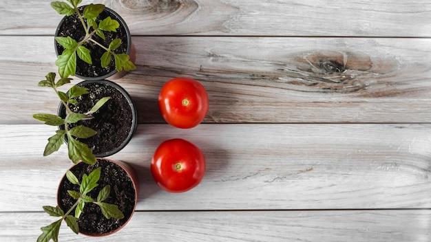ポットのトマト苗と木の背景にトマトの果実。コピースペース。 flatlay。