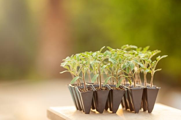 냄비에 있는 토마토 묘목은 자연적으로 흐릿한 녹색 배경 외부에 선택적 초점을 닫습니다. 플라스틱 세포에 있는 어린 식물, 유기농 원예. 모형 복사 공간. 새로운 현실을 키우는 홈 가든