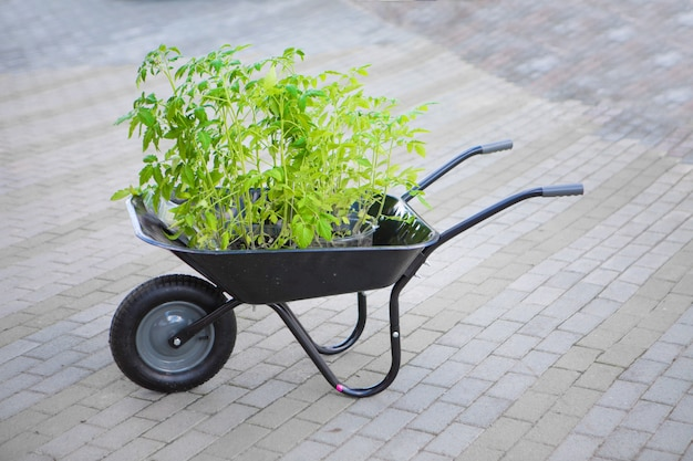 手押し車のトマト苗。観葉植物。春の植栽は庭師によって運ばれます