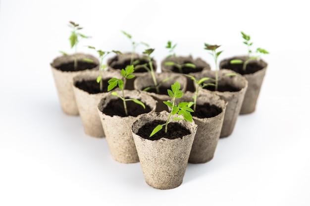 分離した白い背景の生分解性エコリサイクルポットでトマトの苗。空のスペース、テキスト用のスペース。有機農業、廃棄物ゼロのコンセプト。