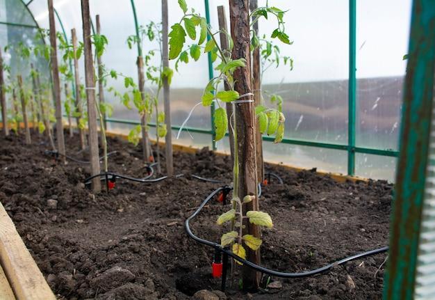 Рассада томатов в теплице на колхозе система капельного орошения растения