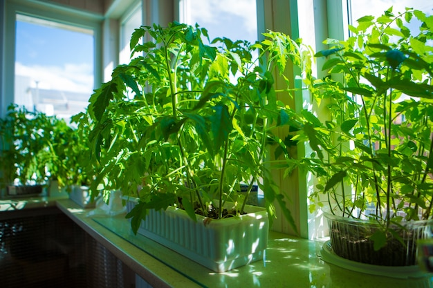 Саженцы помидоров на подоконнике. растение в горшке. весенняя посадка