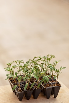 Tomato seedlings in a pot close up selective focus on outside natural blurred green background. young plants in plastic cells,organic gardening. mockup copy space . home garden growing new reality