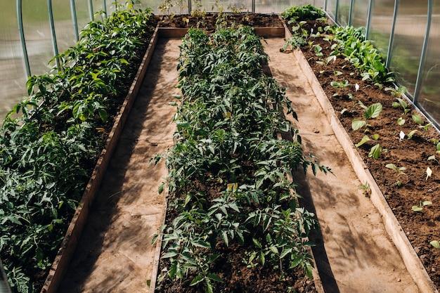 温室内のトマトの芽、植栽用の温室内のトマトの苗、