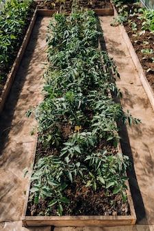 Рассада томатов в теплице, рассада томатов в теплице на посадку,