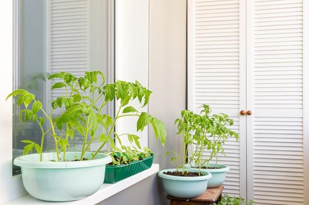 심을 준비를 하고 있는 발코니의 토마토 새싹