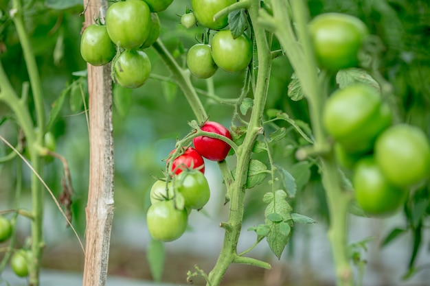 Tomatoes in a garden and glass greenhouse red green yellow tomatoes