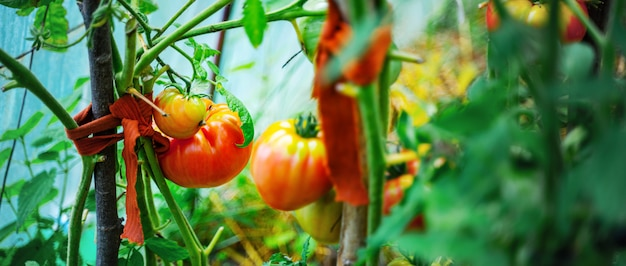 Tomatoes growing in a greenhouse. vegetable growing concept