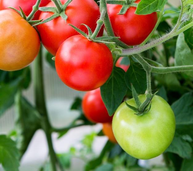 温室で育つトマト。フレッシュトマト植物。庭で完熟した有機トマト。