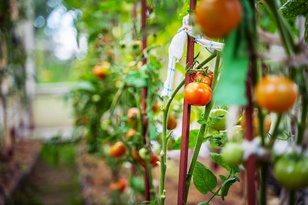 온실에서 자라는 토마토. 야채 성장 개념