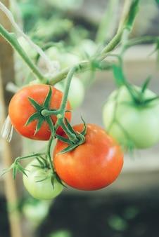 温室の枝で育つトマト。