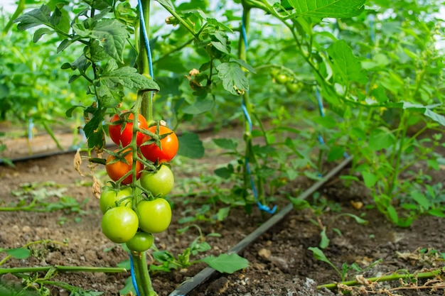 Tomatoes hang on bushes in a polycarbonate greenhouse.