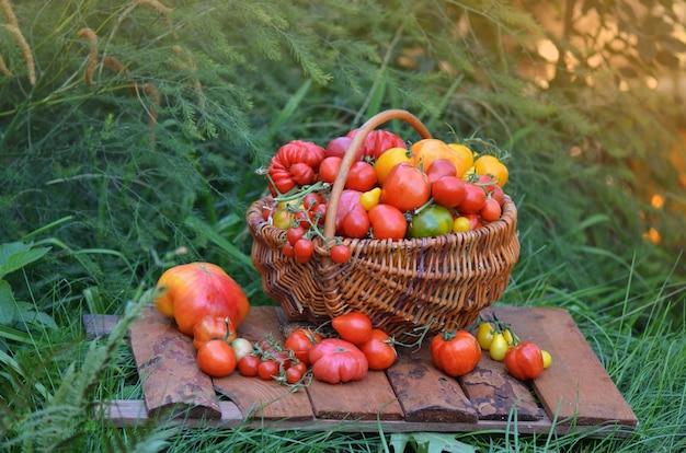 かごの中のトマト。トマト植物の近くのトマトでいっぱいのバスケット。