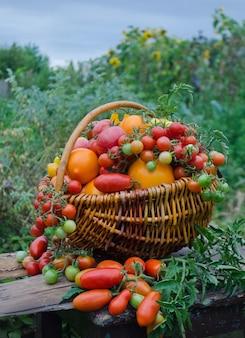 温室の背景に籐のかごの中のトマト