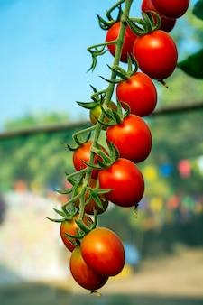 Помидоры в огороде, огород с растениями из красных помидоров.