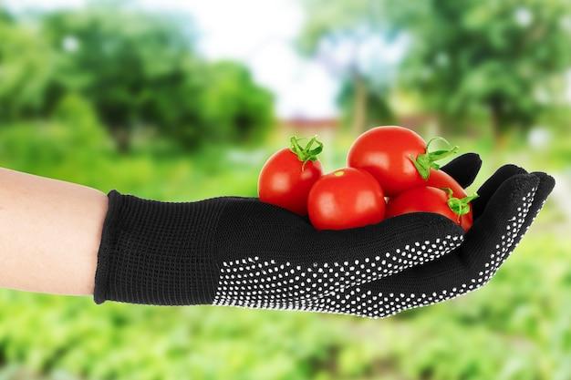 정원의 배경에 대해 인간의 손에 있는 토마토