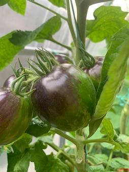 珍しい色と形のトマトが茂みに生えています。