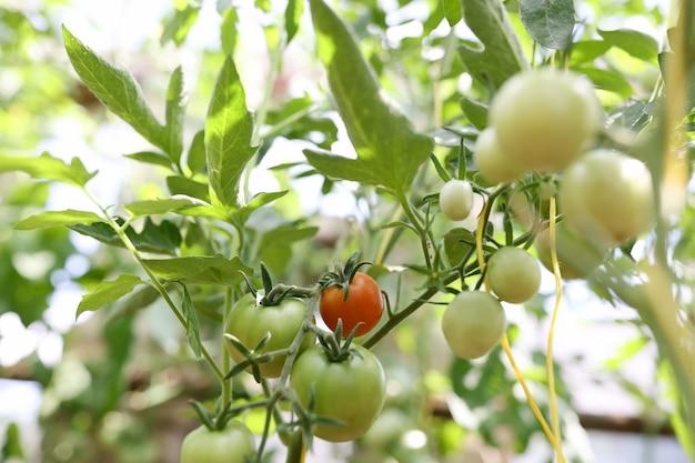 Помидоры на кустовых помидорах на ветке стебля, созревающие разной степени спелости от красных до