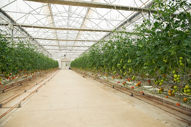 Tomatoes plants inside a greenhouse.